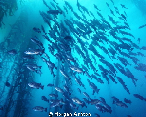 School of blue rockfish, Point Lobos, Carmel by Morgan Ashton 